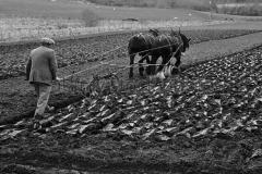 Team of horses ploughing