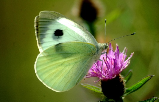 Large White Butterfly - Lough Lurgeen