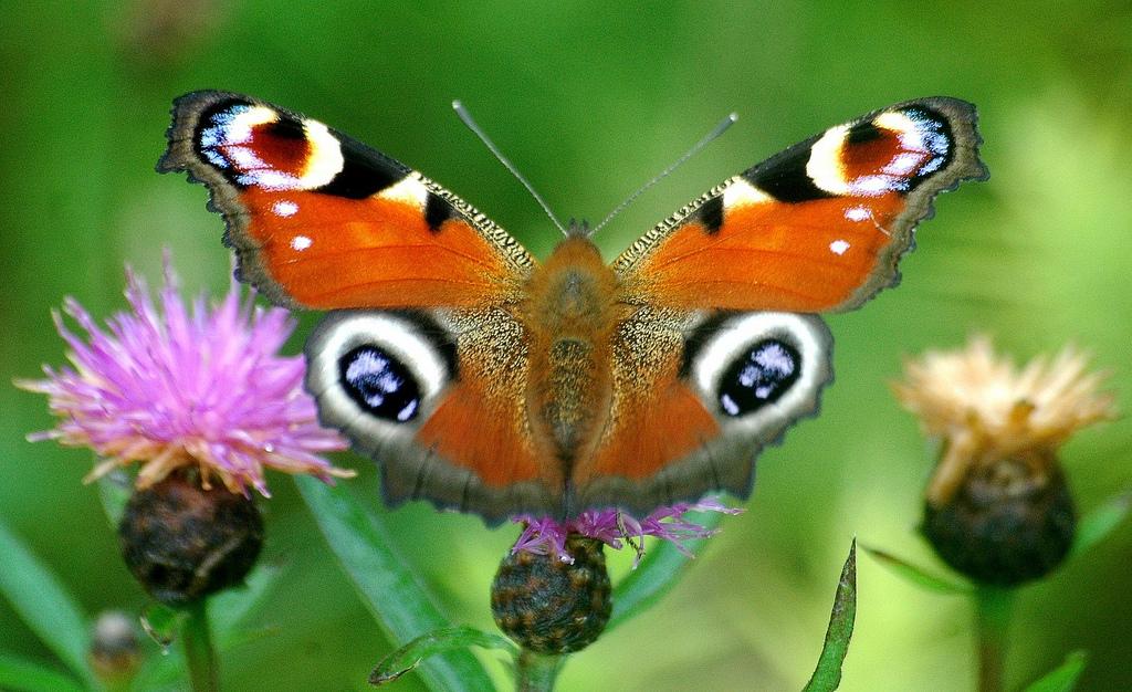 Peacock Butterfly  - Lough Lurgeen