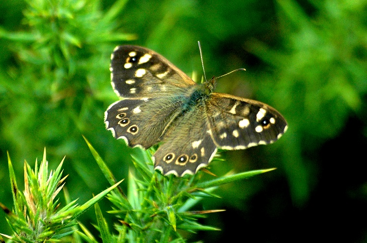 Speckled Wood - Lough Lurgeen