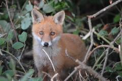 Fox - Ballyhard
