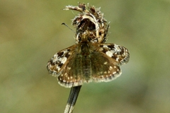 Dingy Skipper - Lough Lurgeen