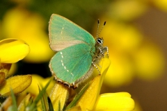 Green Hairstreak - Lough Lurgeen