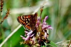Marsh Fritillary  Butterfly - Lough Lurgeen