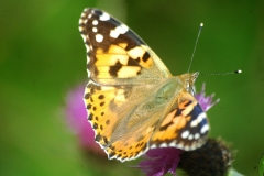 Painted Lady Butterfly - Lough Lurgeen