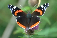 Red Admiral  Butterfly - Lough Lurgeen