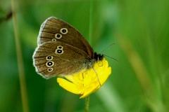 Ringlet Butterfly - Lough Lurgeen