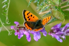 Small Copper - Lough Lurgeen
