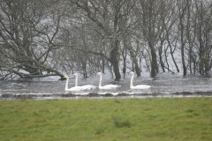 Swans afloat in Glenamaddy Turlough